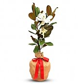 Specialty Gifts: Potted Magnolia Tree