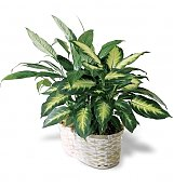 Plants: Spathiphyllum and Dieffenbachia