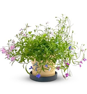 Lobelia Growing Kit for Mom