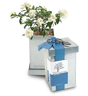 Bonsai Gardenia Kit