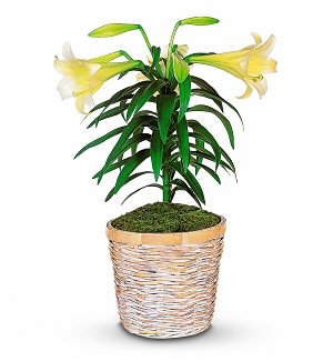 White Easter Lily Potted Plant