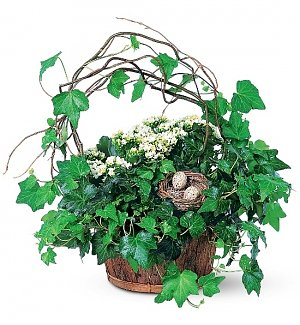 Kalanchoe and Ivy Basket