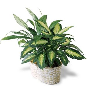 Peace Lily Planter for Grandparent's Day
