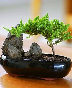 Shogun Juniper Bonsai